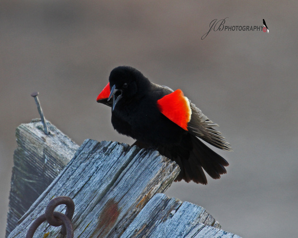 Red-winged Blackbird Port Colborne, Ontario Canada