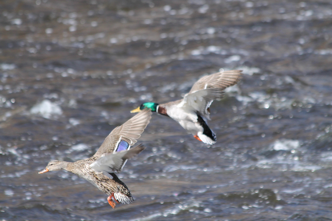 Mallards coming in for a landing! Napanee, Ontario Canada