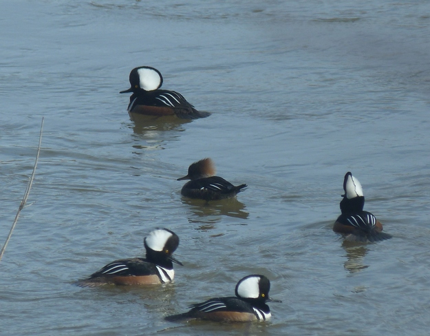 Male Hooded Mergansers try to impress female Langton, Ontario Canada