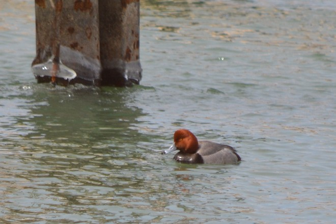 Redhead Duck! St. Catharines, Ontario Canada