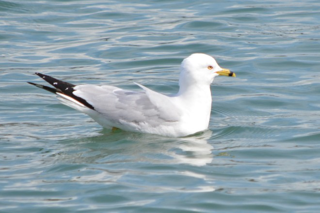 Ring-Billed Gull on Niagara River! St. Catharines, Ontario Canada