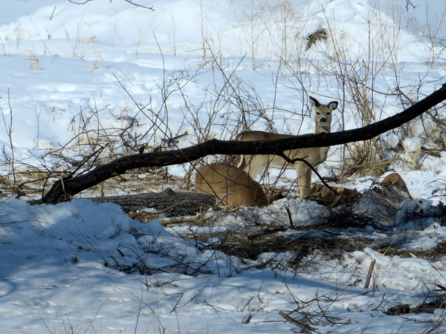 Deer out & about Brandon, Manitoba Canada