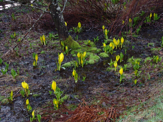 skunk's cabbage Ganges, British Columbia Canada