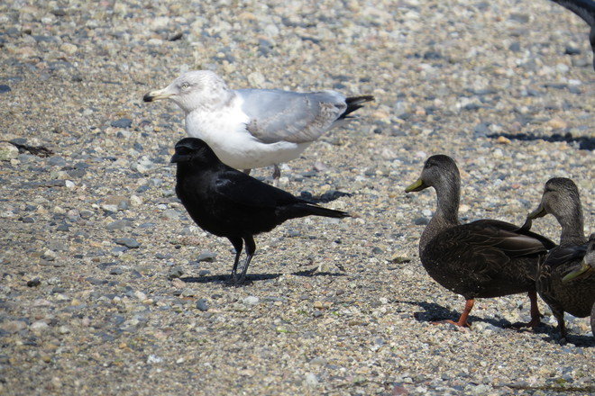 Ring-billed Gull, American Crow, & American Black Ducks Chester, Nova Scotia Canada