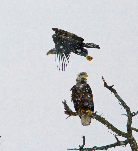 Mother and baby Eagle Conestogo, Ontario Canada