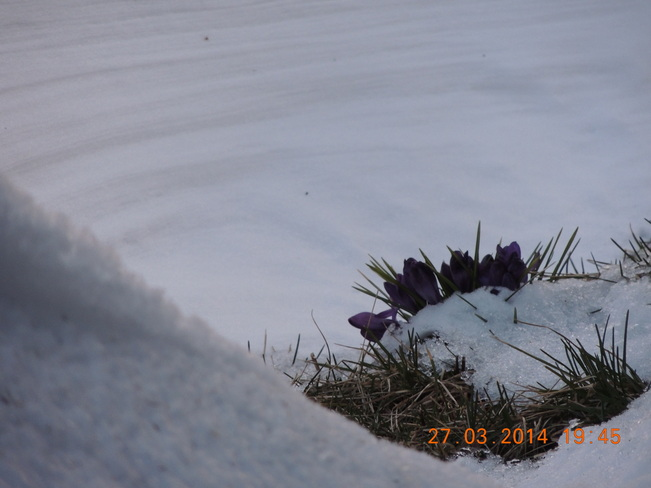 Crocus in the snow Yarmouth, Nova Scotia Canada