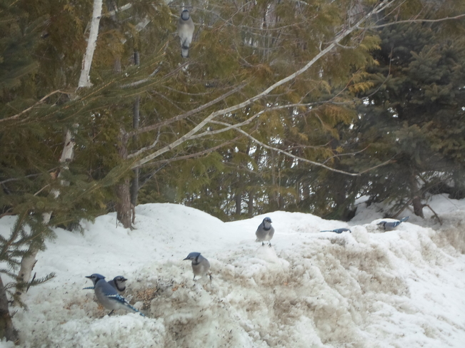7 Blue Jays @ Serriff's Creek Elliot Lake, Ontario Canada