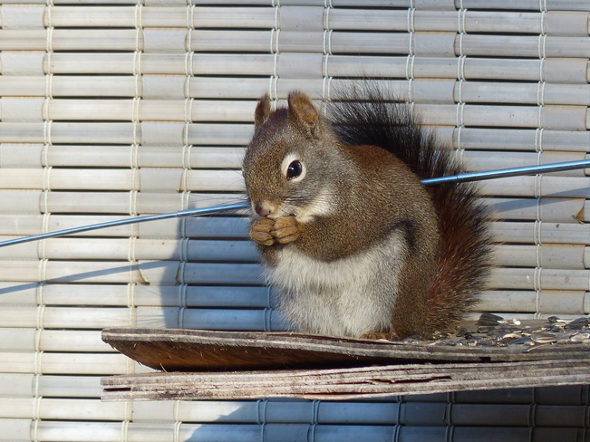Peanut my pet squirrel Grand Forks, British Columbia Canada