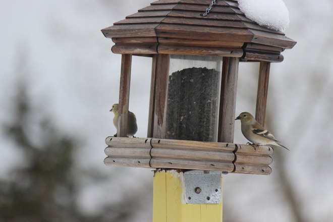Yellow Fintch at the feeder
