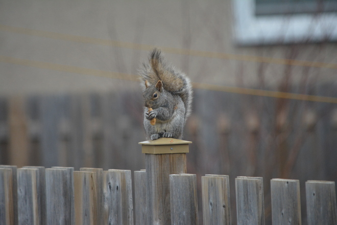 Gray Squirrel! St. Catharines, Ontario Canada