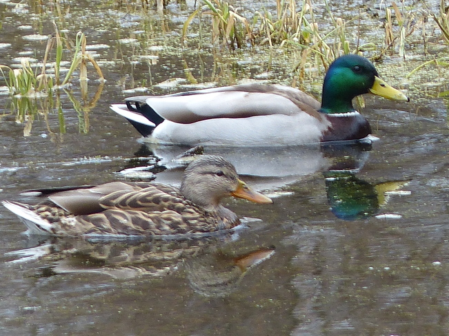 Duck couple Grand Forks, British Columbia Canada