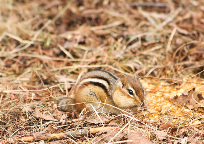 Chipmunk stuffing his cheeks! Kingston, Ontario Canada