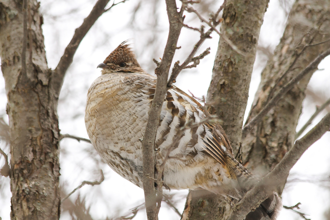 Ruffed Grouse perched in a tree Kingston, Ontario Canada