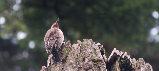 Regal Looking Northern Flicker New Westminster, British Columbia Canada