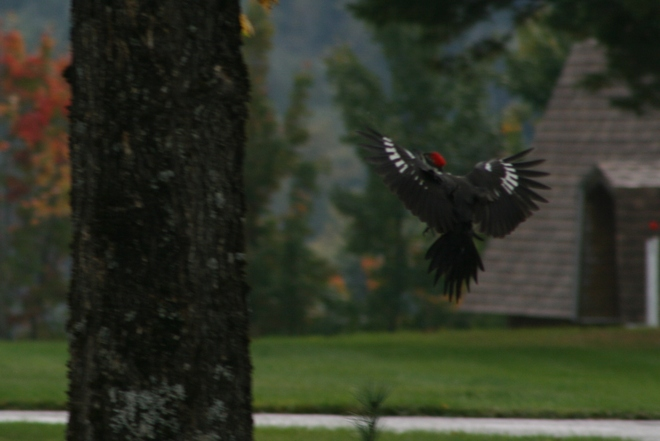 Pileated Woodpecker Renous, New Brunswick Canada
