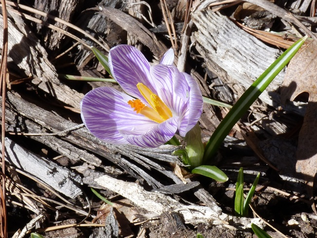First Crocus of the Year Langton, Ontario Canada