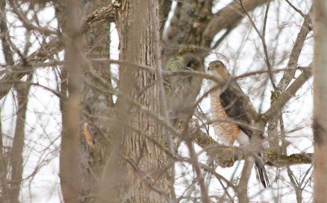 Hawk Kingston, Ontario Canada