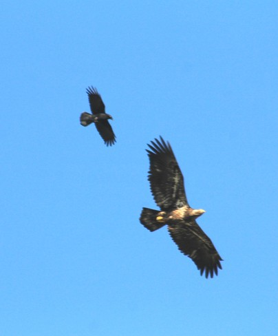 crow and eagle Abbotsford, British Columbia Canada