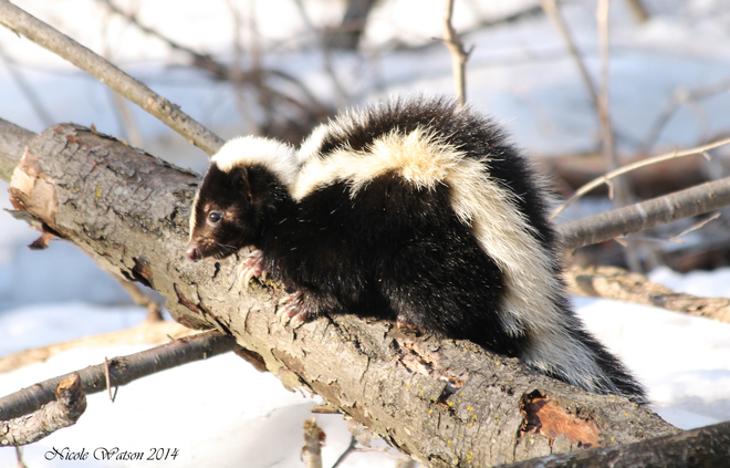 Young Skunk Kingston, Ontario Canada