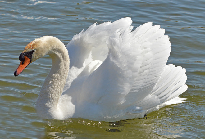 The Beauty of the Swan Brighton, Ontario Canada