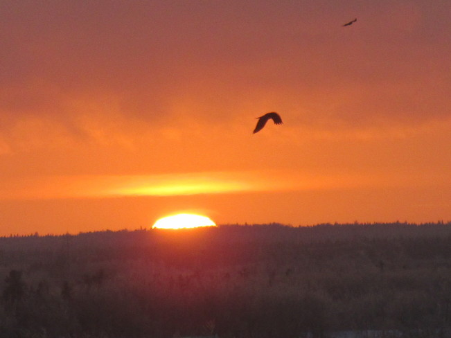 Bird soars sunset skies Moncton, New Brunswick Canada