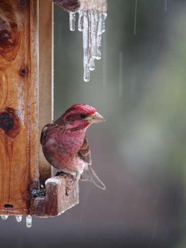 Freezing rain is an issue for birds too! Coldbrook, Nova Scotia Canada