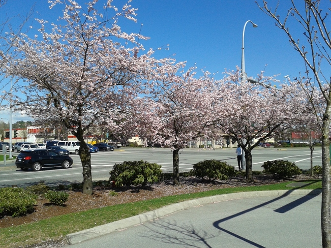 Beautiful Cherry Blossoms in Langley BC Langley, British Columbia Canada