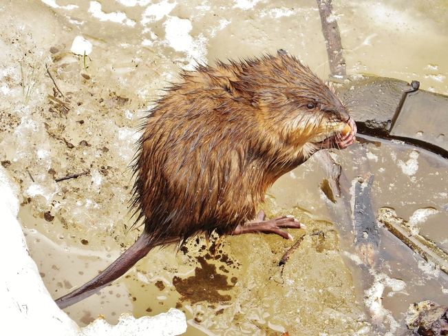 Muskrat heard the 'buffet' was open. North Bay, Ontario Canada