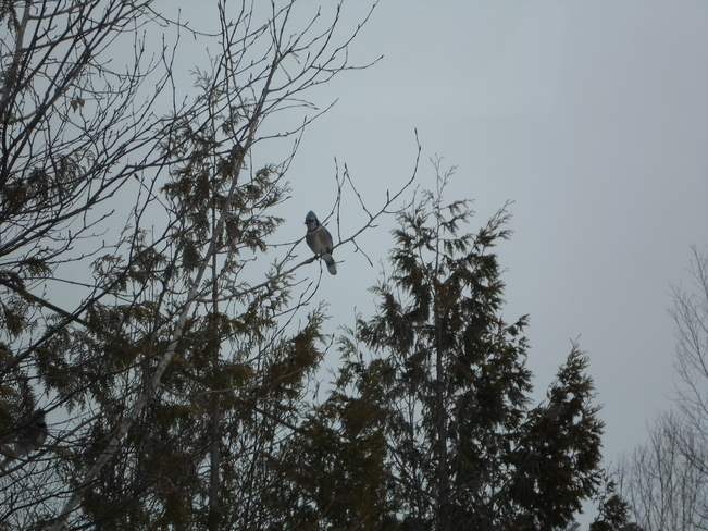 Blue Jay high up in the tree Elliot Lake, Ontario Canada