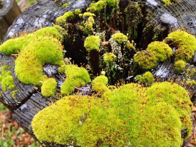 Moss on the tree stump North Vancouver, British Columbia Canada