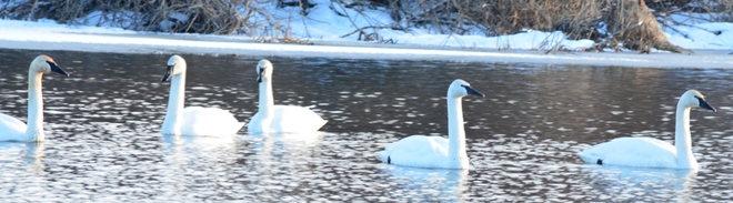 Swans Galore