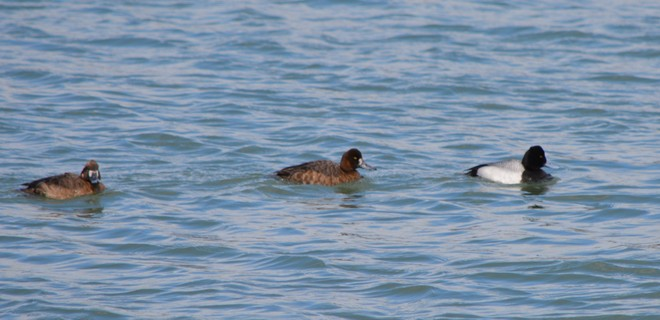 Scaup male and females St. Catharines, Ontario Canada