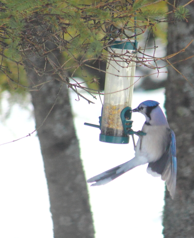 At the Feeder Fredericton, New Brunswick Canada