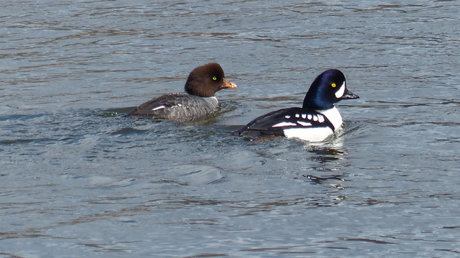 Barrow's goldeneye ducks Grand Forks, British Columbia Canada