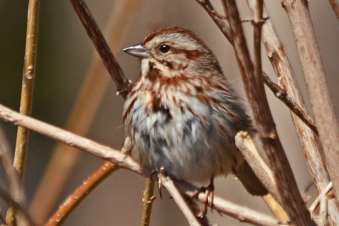 Song Sparrow Kitchener, Ontario Canada