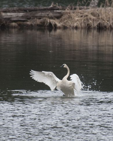 Trumpeter Swans return Kaslo, British Columbia Canada
