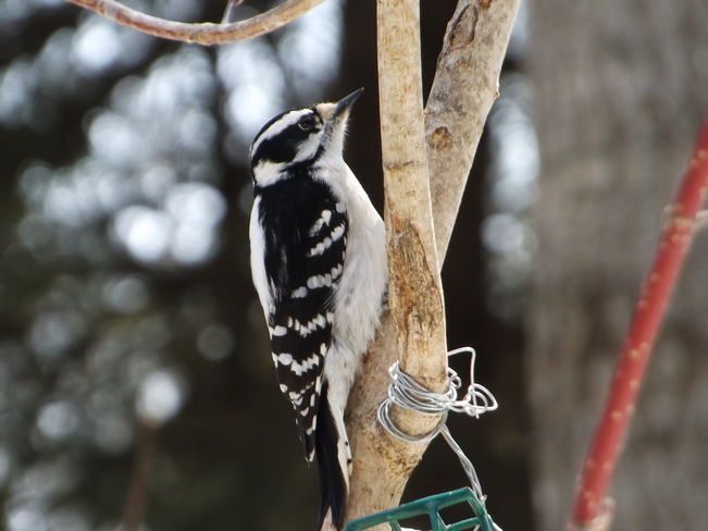 ANOTHER DOWNEY WOODPECKER Thunder Bay, Ontario Canada