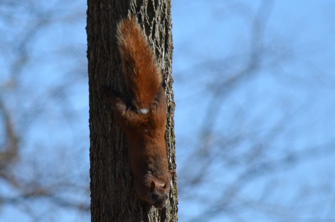 Red Squirrel! St. Catharines, Ontario Canada