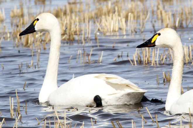 "A ""couple"" of Tundra Swans"