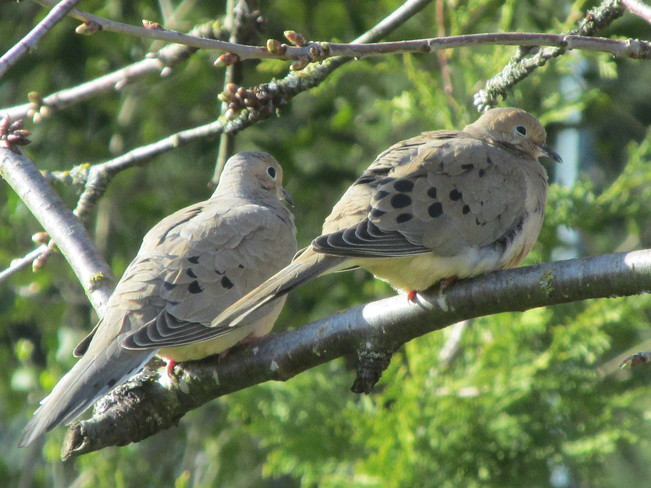doves on our cherry tree Surrey, British Columbia Canada