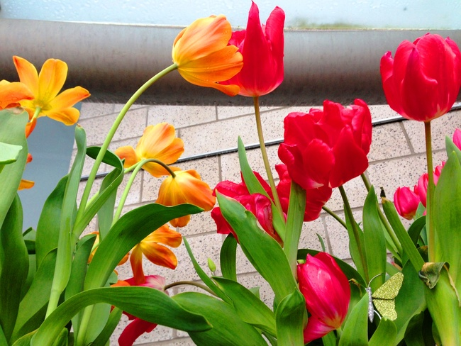 Fushion of colourful tulips! Vancouver, British Columbia Canada