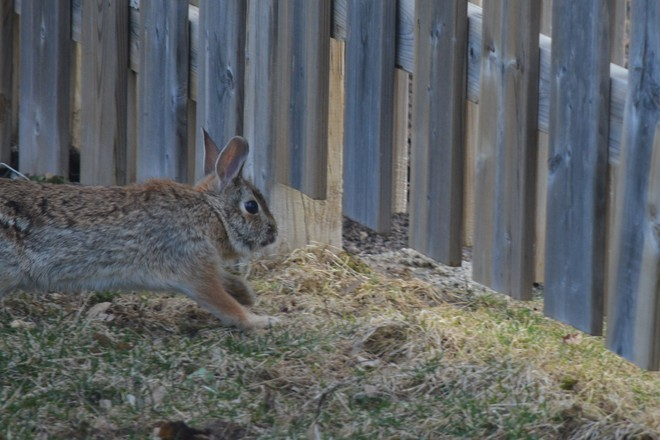 Quick Exit under the fence! St. Catharines, Ontario Canada