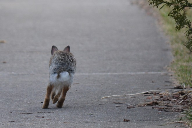 Cottontail Rabbit on the sidewalk! St. Catharines, Ontario Canada