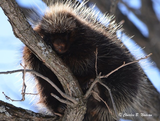 Porcupine in a tree Orleans, Ontario Canada