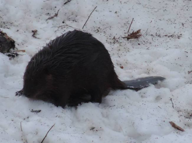 Beaver out and about Brockville, Ontario Canada