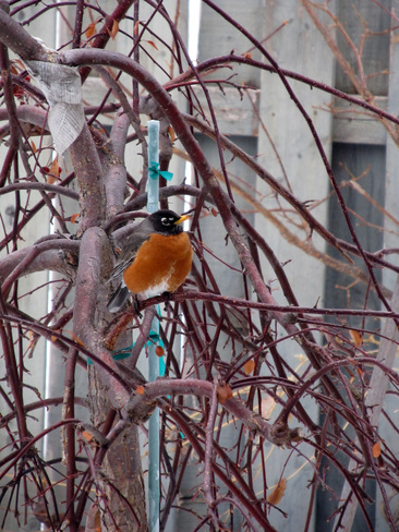 Robins in the Spring..Really..Finally Winnipeg, Manitoba Canada
