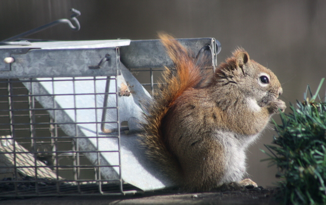 Squirrel springs live trap Fredericton, New Brunswick Canada