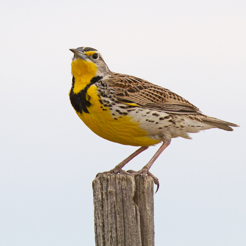 Meadow Lark Lomond, Alberta Canada