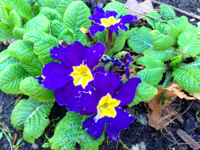 Yellow in purple! Vancouver, British Columbia Canada