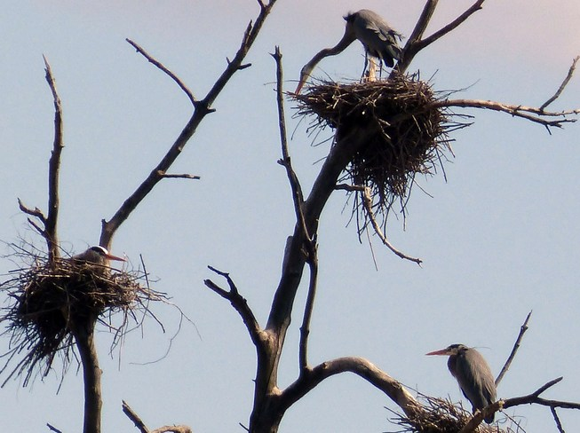 3 Great Blue Heron nests! Ottawa, Ontario Canada